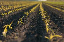 Seedlings In The Field