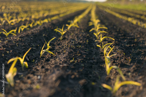 Fototapeta seedlings in the field