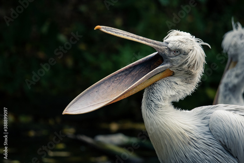 Pelican showing off with open beak Fototapete