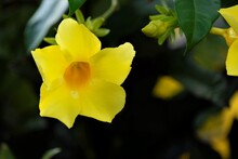 Allamanda Cathartica, Commonly Called Golden Trumpet, Trumpetvine, And Yellow Allamanda, Is A Species Of Flowering Plant Of The Genus Allamanda In The Family Apocynaceae.