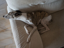 Whippet Brindle And White Purebreed Dog Resting At Home Lying Donwn