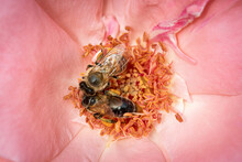 Bee On A Pink Rose Gathering P...