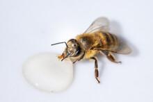 Healthy Honey Bee Sucking A Drop Of Honey