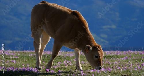 Ternero pace en  un puerto de montaña con flores de azafrán que tapizan el pasto Canvas