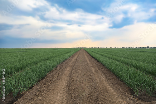 Fotografiet Rows of green onion in agricultural field