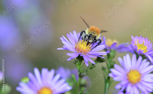 Fotografija bee of pollen gathering the yellow pistil of a pink aster flowers