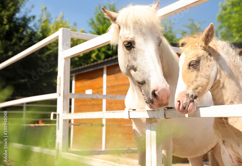 Fotografia White horse with foal in paddock on sunny day. Beautiful pets