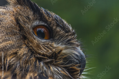 Fotografia large view from head eye and beak from a owl