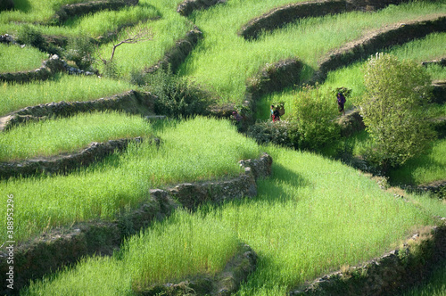 Fotografia rice fields, crops on the hillside of the Himalayas