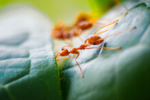 Close-up Red Ants Make Their N...