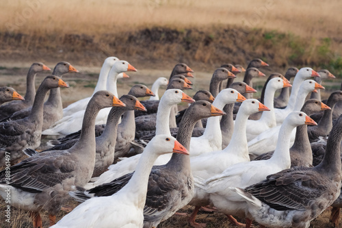 Group of white and gray geese in a meadow on summer day Fototapeta