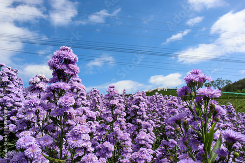Fototapeta Purple margaret flowers blooming on the mountain in the morning obraz na płótnie