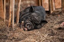 A Fat Pig With A Black Skin Li...