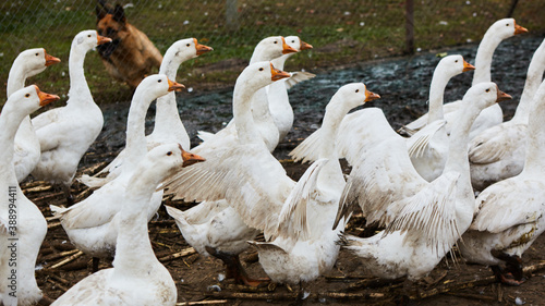 Domestic geese graze on traditional village goose farm Slika na platnu