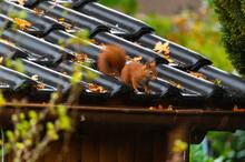 A Squirrel Runs Over A Small H...