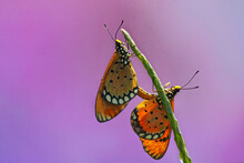 A Pair Of Butterflies Are Mating On The Leaves Of Wild Plants.