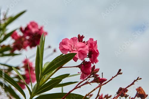Cuadros en Lienzo Close-up of fresh pink oleander flowers blooming outdoors