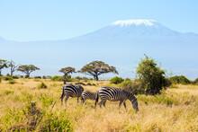 Family Of Striped Zebras Graze