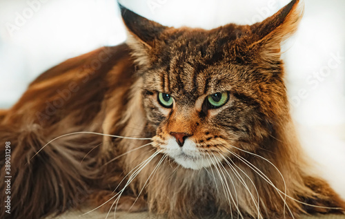 Fotografiet Portrait of Maine Coon. Largest domesticated cat breed.