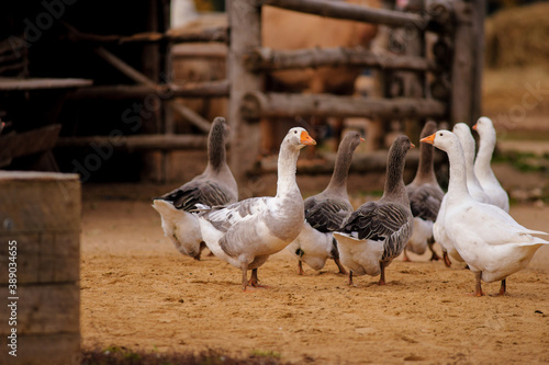 Foto A flock of domestic geese walk along the sand against a wooden fence