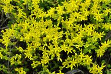 Stonecrop (Sedum Acre) Grows I...