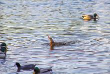 Brown Mallard Ducks On The Sti...