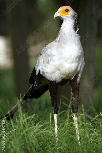 Photo secrétaire (sagittarius serpentarus) secretary bird