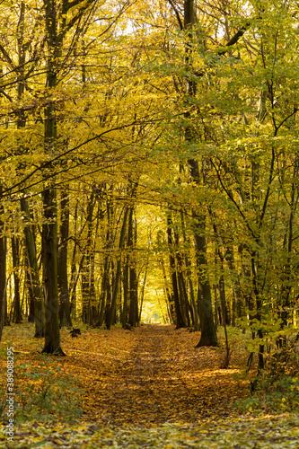 Obraz na plátně Autumn nature path trough broadleaf forest