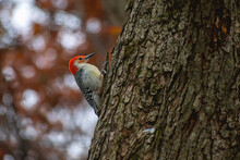 Red-bellied Woodpecker Is Clim...