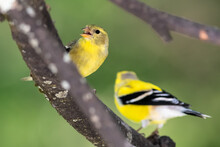 Pair Of American Goldfinch Resting In A Tree