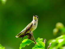 Ruby-Throated Hummingbird Perched On A Branch Looking Forward Wing Down And Showing Molting On Breast - A Series