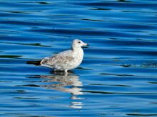 A Ring-Billed Gull Seagull Bir...