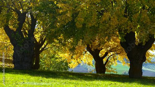 Leinwand Poster alberi in autunno con foglie gialle