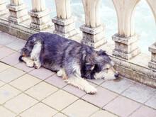 Homeless Shaggy Black-gray Dog Sleeps Near The Railing On The Paving Slabs