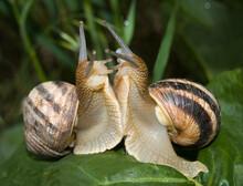 Two Snails Love Closeup.