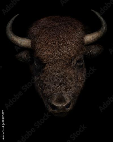 Tela American bison portrait on black background