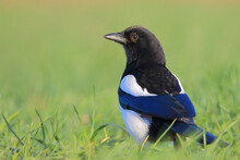 Eurasian Magpie Or Common Magp...