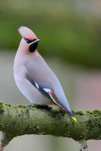 Bohemian Waxwing. Bird In Spring. Bombycilla Garrulus