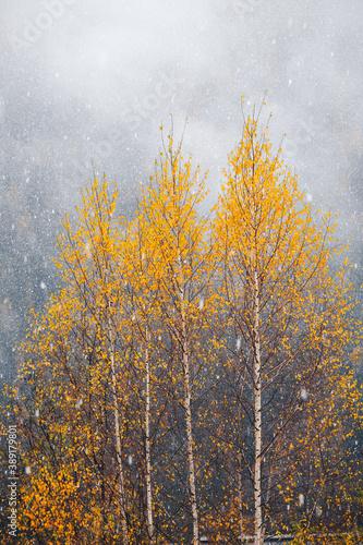 Fototapeta la neige tombe sur les arbres colorés