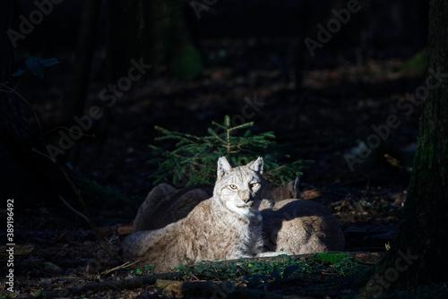 Foto lynx in wood enjoying the last sunrays