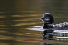 Loon With Fish In Autumn