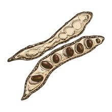 Carob Pod With Seeds. Vector C...