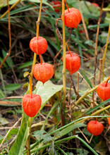 Wild Physalis During The Ripening Of Fruits