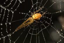 Orb-weaver Araneus Diadematus Underneath In A Spider Web With Dew