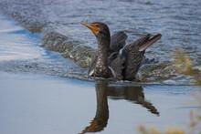 Juvenile Cormorant Enjoys Spla...