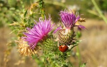 Ladybug On A Thistle Flowers In The Meadow