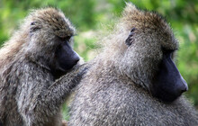 Baboon Parent And Baby