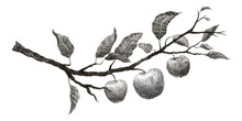 Hand Drawn Vintage Branch Of Apple Tree On White Background. Pencil Sketch.