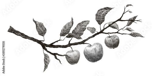 Fototapeta Hand drawn vintage branch of apple tree on white background