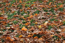 Autumn Fallen Leaves.Orange Dry Foliage Covered The Ground.Fragment.Closeup.Backgrounds